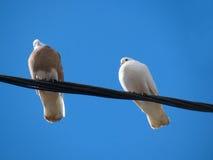 Tauben auf einem Draht Stockbilder
