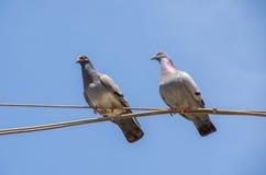 Tauben auf einem Draht Lizenzfreies Stockfoto