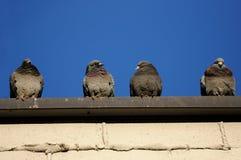 Tauben auf einem Gebäude Stockfotos