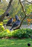 Tauben auf einem Glied Stockfotos