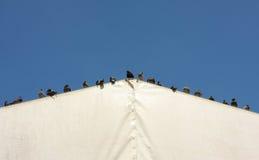 Tauben auf einem Zeltdach Lizenzfreies Stockbild