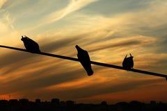 Tauben auf einer Fernsprechleitung Stockbild