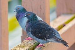 Tauben auf einer Holzschwelle Stockfotografie