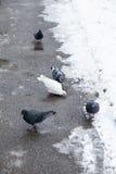 Tauben auf einer Straße Stockfotografie
