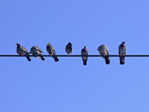 Tauben auf einer Zeichenkette Lizenzfreies Stockbild