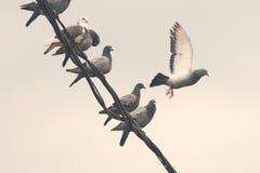Tauben auf elektrischem Draht Lizenzfreie Stockfotografie