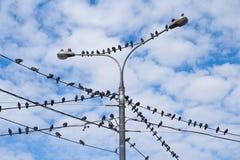 Tauben auf elektrischem konkretem Pfosten Stockbild