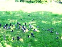 Tauben auf gr?nem Gras stock footage