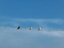 Tauben auf Kabel Stockbilder
