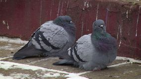 Tauben auf Pflasterung stock video
