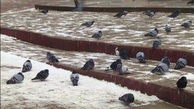 Tauben auf Pflasterung stock video footage