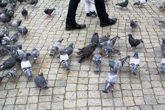 Tauben auf Quadrat Stockfotografie