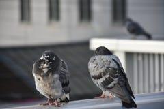 Tauben auf Schiene morgens Lizenzfreie Stockfotos