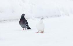 Tauben auf weißem Hintergrund Lizenzfreies Stockfoto