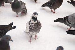Tauben auf weißem Schnee in der Stadt Stockbild