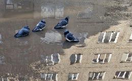 Tauben baden in einer Pfütze lizenzfreie stockbilder