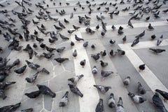 Tauben bei Piazza Del Duomo Lizenzfreie Stockfotos