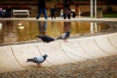 Tauben am Brunnen Stockfotos