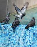 Tauben am Brunnen lizenzfreies stockfoto