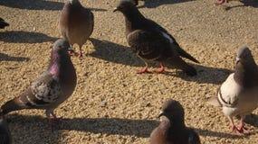 Tauben @ das Ende der ersten Straße Stockfoto
