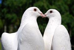 Tauben in der Liebe Lizenzfreie Stockbilder