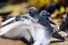 Tauben in der Nahaufnahme Stockfotografie