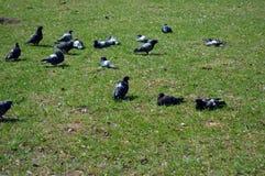Tauben, die auf dem Rasen stillstehen stockfotos