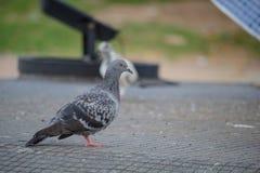 Tauben, die auf dem Zement stehen Lizenzfreies Stockbild