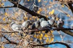 Tauben, die auf der Niederlassung im Herbst sitzen Lizenzfreie Stockbilder