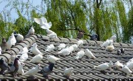 Tauben, die auf einem Dach roosting sind Lizenzfreie Stockfotografie