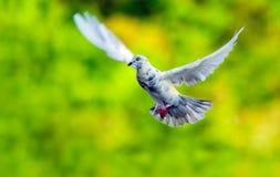 Tauben, die in den klaren Hintergrund der Luft fliegen Lizenzfreie Stockbilder