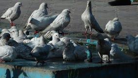 Tauben, die ein Bad nehmen stock video