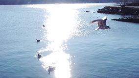 Tauben, die in einen Satz auf Hudson River Facing New York-Stadt fliegen stock footage