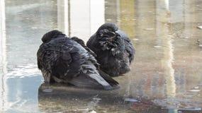 Tauben, die in einer Pfütze, schauend in den verschiedenen Richtungen sitzen Stockfotos