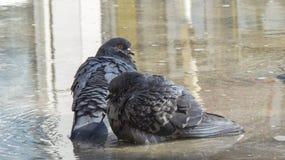 Tauben, die in einer Pfütze sitzen Zwei Turteltauben Stockfotos