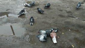 Tauben, die in einer Pf?tze baden stock video footage