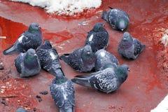 Tauben, die in einer schlammigen Pfütze sitzen Stockbilder