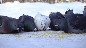 Tauben, die Korn im Schnee essen media Nahaufnahme des grauen Taubenpickens zerstreut in Reihe von Getreide im Schnee auf sonnige stock footage