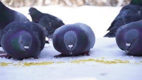 Tauben, die Korn im Schnee essen Nahaufnahme des grauen Taubenpickens zerstreut in Reihe von Getreide im Schnee am sonnigen eisig stock video