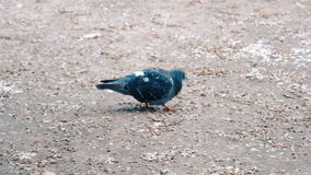 Tauben, die nettes 4k essen stock video
