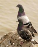 Tauben, die Uhr halten Stockfoto