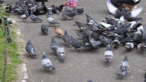 Tauben in einem Stadtpark stock video