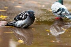 Tauben in einer Pfütze Lizenzfreies Stockfoto