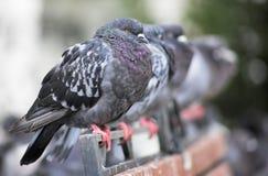 Tauben in einer Reihe Lizenzfreie Stockfotos