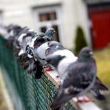 Tauben in Folge Stockfoto