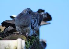 Tauben in Folge lizenzfreie stockbilder