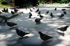 Tauben gehen auf den Bürgersteig stockbild