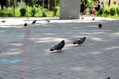 Tauben gehen um das Quadrat stockbilder