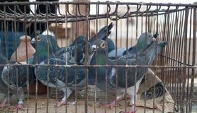 Tauben im Käfig am Marktstall lizenzfreie stockfotos