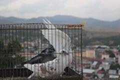 Tauben im Käfig vor Freiheit lizenzfreies stockfoto